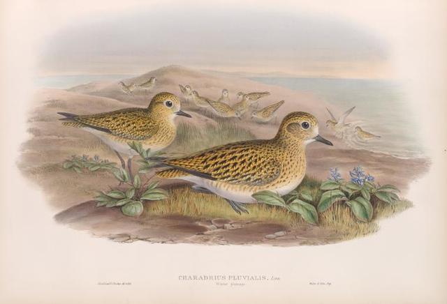 Charadrius pluvialis. Winter plumahe. Golden Plover (winter plumage).