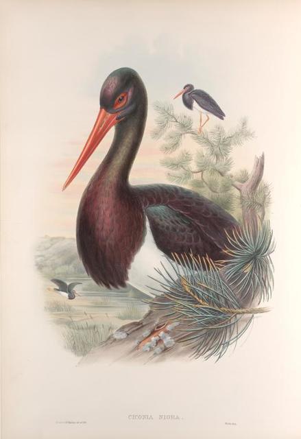 Ciconia nigra. Black  Stork.