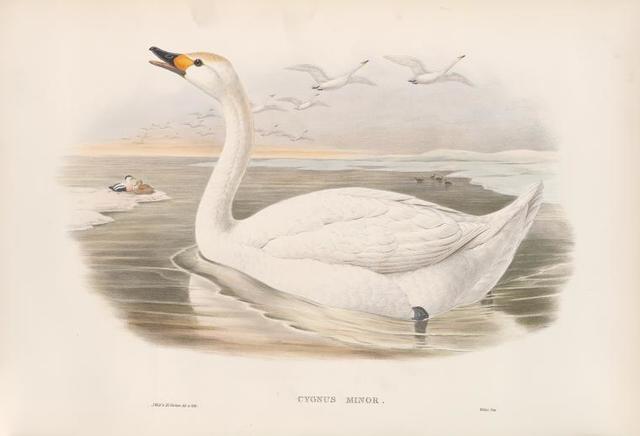 Cygnus minor. Bewick's Swan.