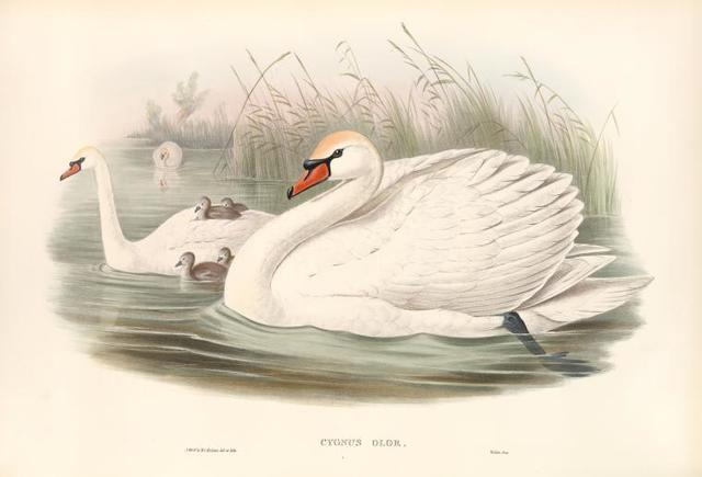 Cygnus olor. Mute Swan.