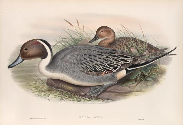 Dafila acuta. Pin-tailed Duck.