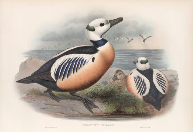 Eniconetta Stelleri. Steller's Duck.