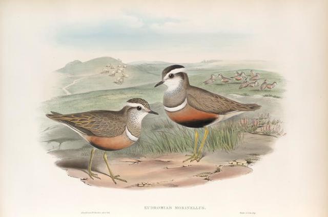Eudromias morinellus. Dotterel.
