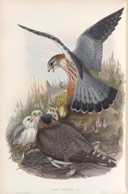 Falco æsalon. Merlin.