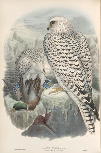Falco candicans. Greenland Falcon, dark race, adult.