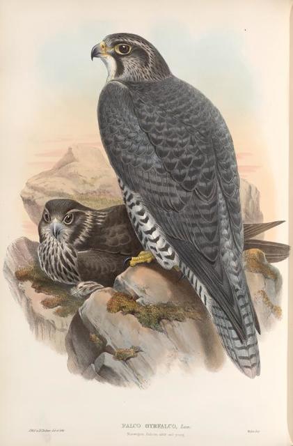Falco gyrfalco. Norwegian Falcon, adult and young.