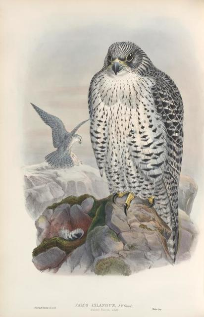Falco islandus. Iceland Falcon, adult.