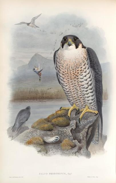 Falco peregrinus. Peregrine Falcon.