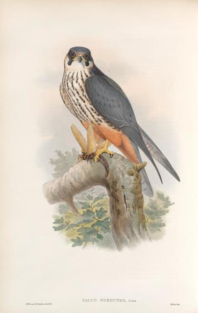 Falco subbuteo. Hobby.