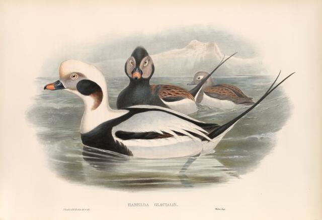 Harelda glacialis. Long-tailed Duck.