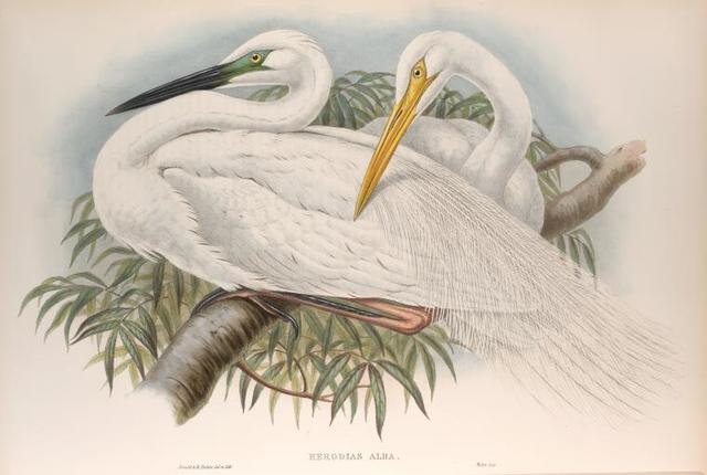 Herodias alba. Great White Egret, or White Heron.