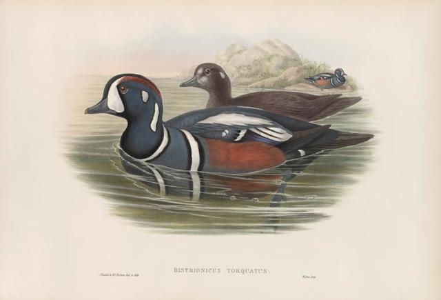 Histrionicus torquatus. Harlequin Duck.