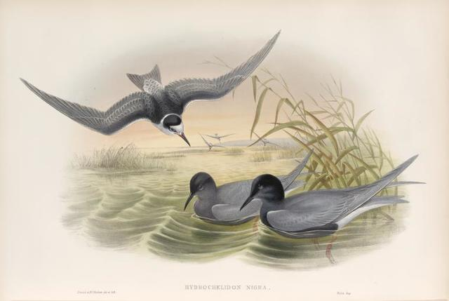 Hydrochelidon nigra. Black Tern.