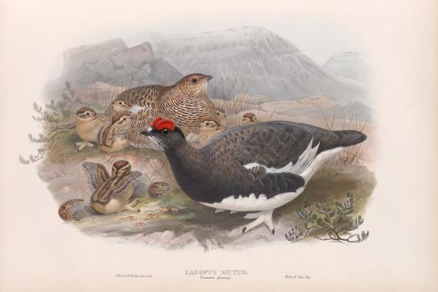 Lagopus mutus. Summer plumage. Ptarmigan (summer plumage).