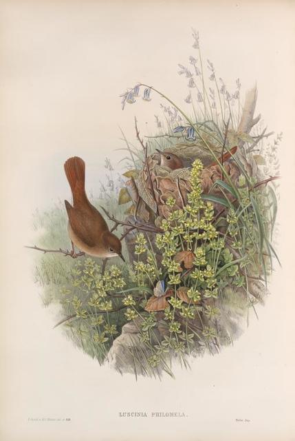 Luscinia philomela. Nightingale.