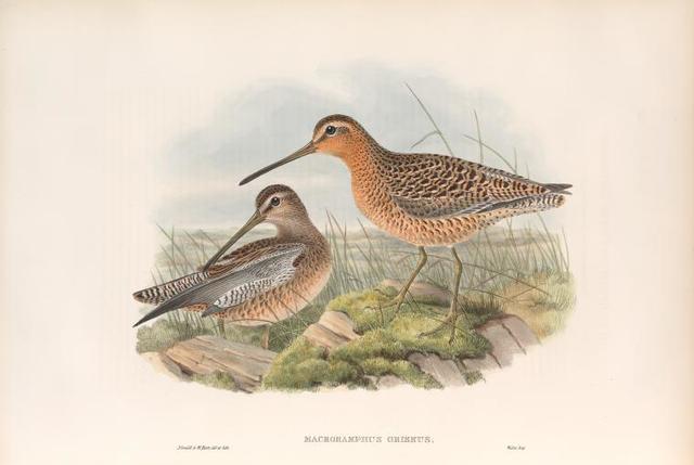Macrorhamphus griseus. Red-breasted or Brown Snipe.