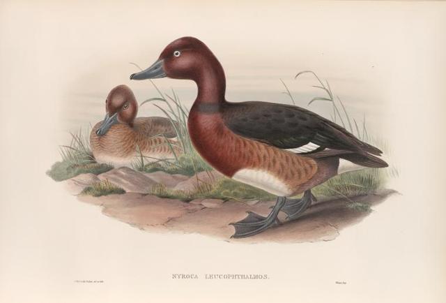 Nyroca leucophthalmos. White-eyed, or Ferruginous Duck.