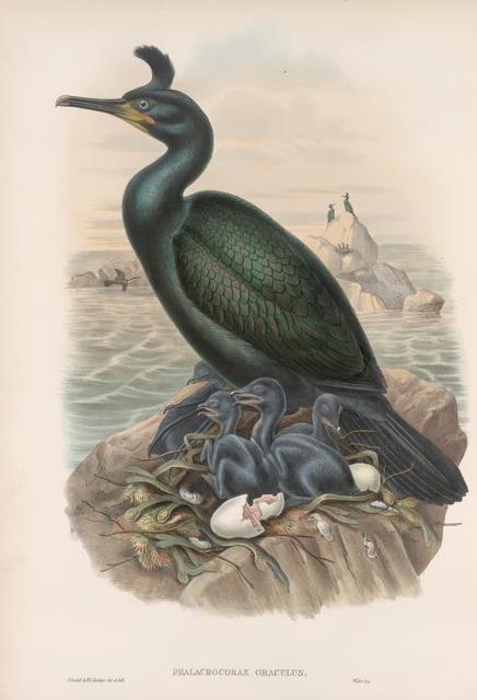 Phalacrocorax graculus. Crested Cormorant, or Shag.