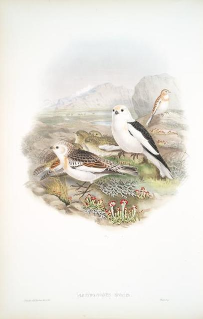 Plectrophanes nivalis. Snow Bunting, or Snowflake.
