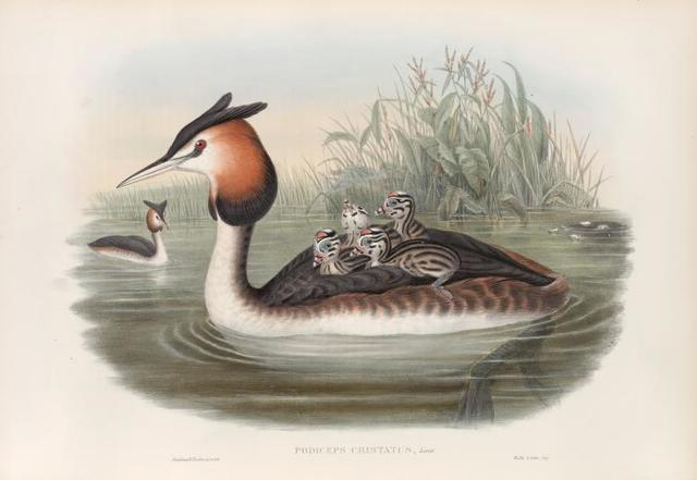 Podiceps cristatus. Great Crested Grebe.