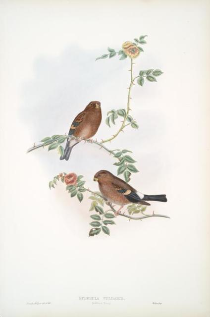 Pyrrhula vulgaris. Bullfinch Young.