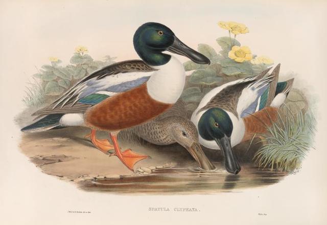 Spatula clypeata. Shoveller Duck.