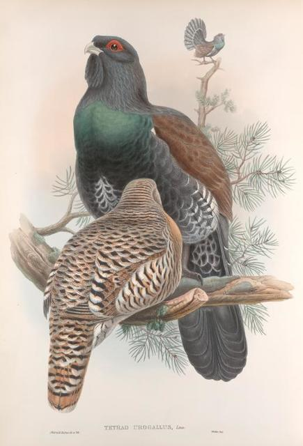 Tetrao urogallus. Capercailzie, or Cock of the Wood.