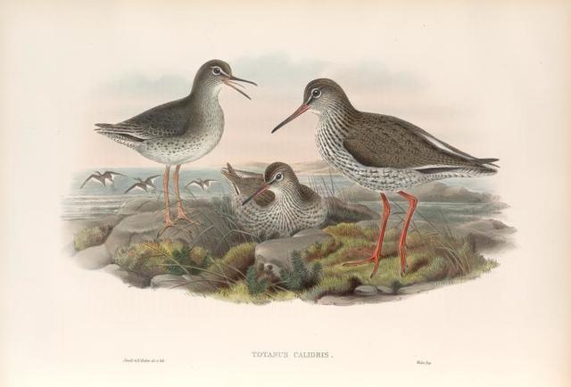 Totanus calidris. Redshank.