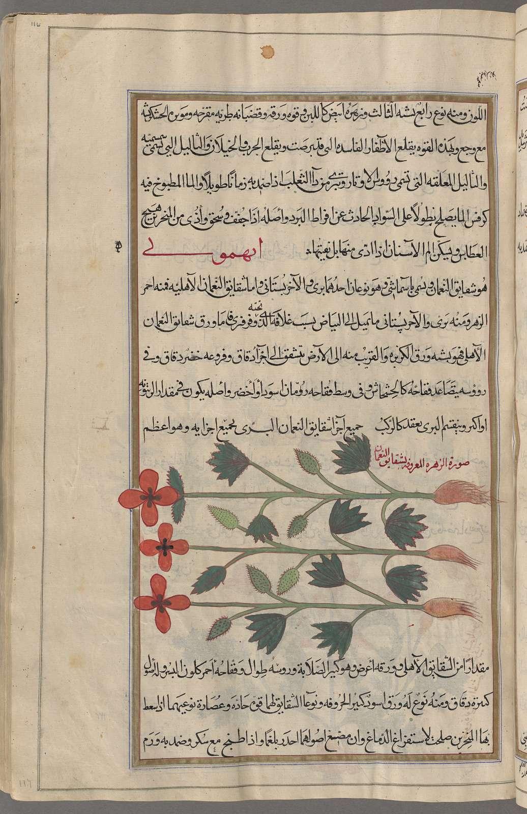 Anemone (Anemone coronaria), anihmûnî [n.p.], fol. 116