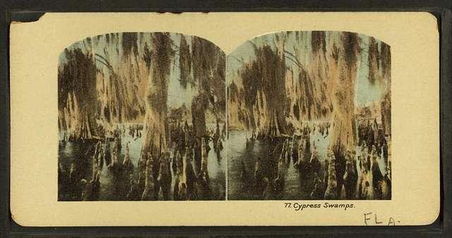 Cypress swamps. Fla.