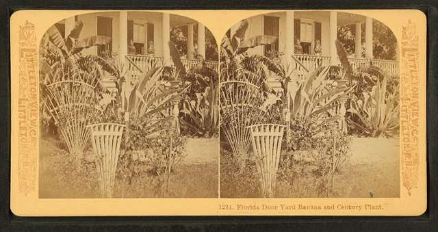 Florida Door Yard, Banana and Century Plant.