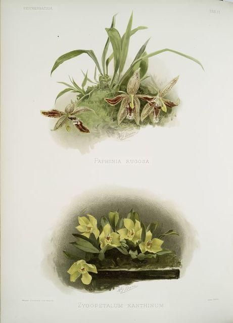 Paphinia rugosa; Zygopetalum xanthinum.