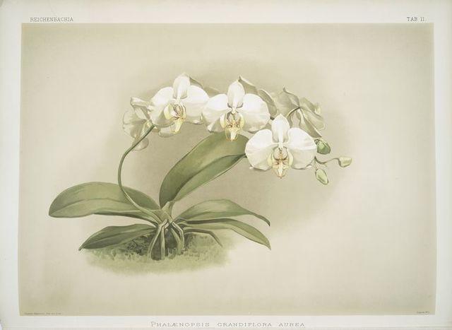 Phalaenopsis grandiflora aurea.