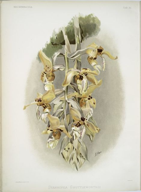 Stanhopea shuttleworthii.