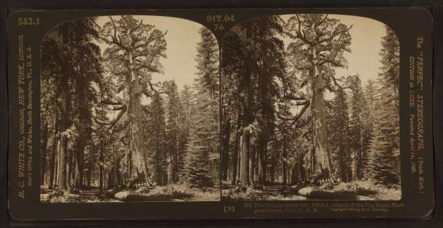 The Grizzly Giant (cir. 106 ft.). largest of the Big Trees, Mariposa Grove, Cal., U.S.A.
