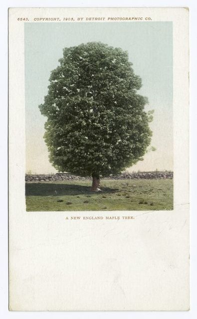 A New England Maple Tree, New England