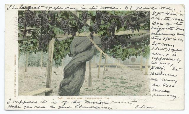 Grape Vine, Carpenteria, Calif.