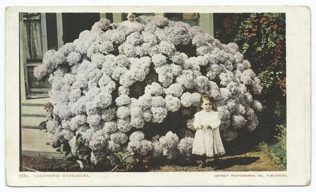 Hydrangea, California