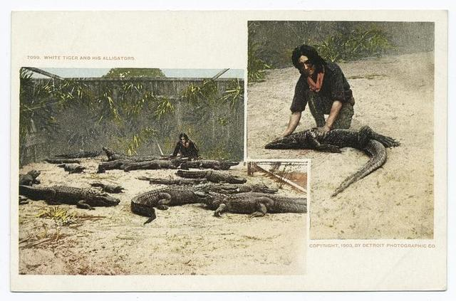 White Tiger and his Alligators, Jacksonville, Fla.