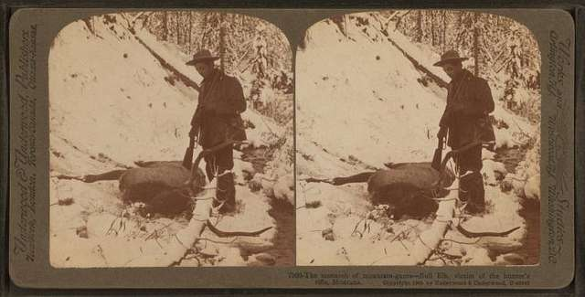 The monarch of mountain game--bull elk, victim of the hunter's rifle  Montana.