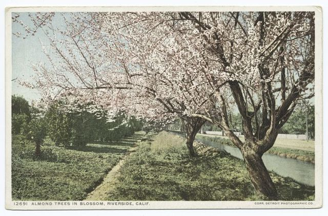 Almond Trees in Blossom, Riverside, Calif.