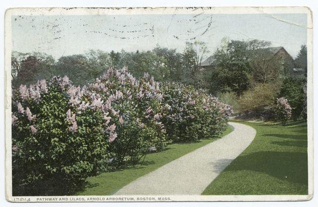 Pathway and Lilacs, Arnold Arboretum, Boston, Mass.