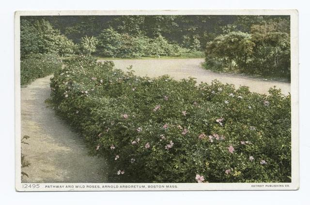 Pathway and Wild Roses, Arnold Arboretum, Boston, Mass.