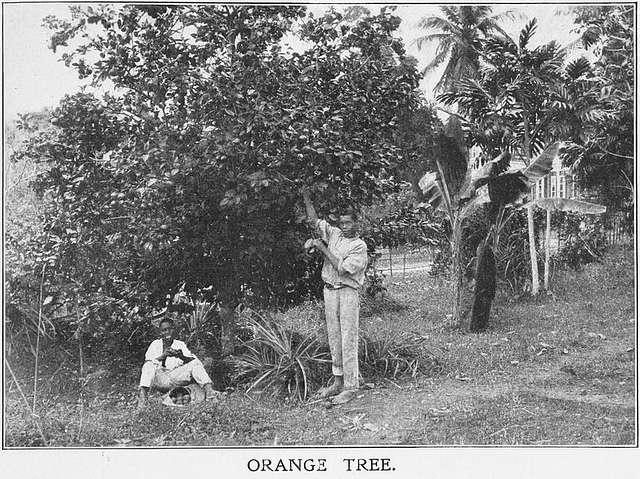 Orange tree; [Jamaica.]