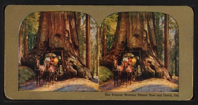 The Famous Wawona Tree Tunnel and Coach, Cal.