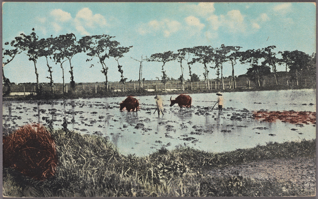 Plowing rice feld [i.e., field] near Manila, P.I.