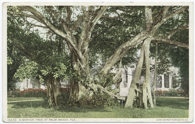 A Banyan Tree, Palm Beach, Fla.
