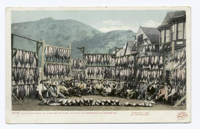Five Ton Catch of Albacore, Avalon, Santa Catalina, Calif.
