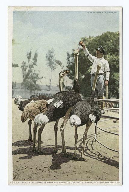 Reaching for Oranges, Cawston Ostrich Farm, South Pasadena, Calif.