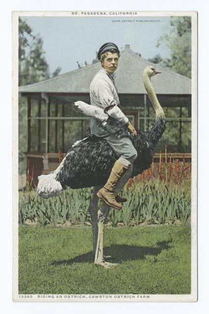 Riding an Ostrich, Cawston Ostrich Farm, South Pasadena, Calif.